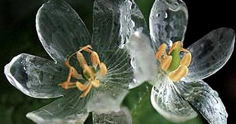 flor transparente gotas de lluvia naturaleza sankayo サンカヨ 2