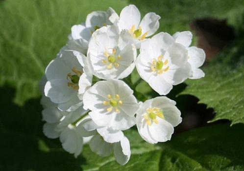 flor transparente gotas de lluvia naturaleza sankayo サンカヨ