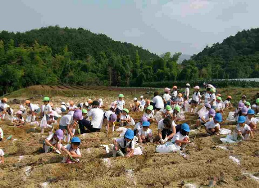 recoleccion de batatas boniato cosecha escuela japon 2