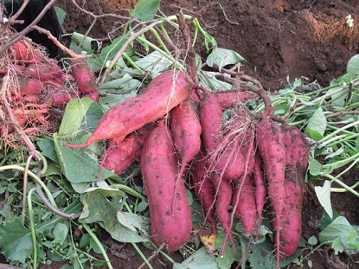 recoleccion de batatas boniato cosecha escuela japon 3