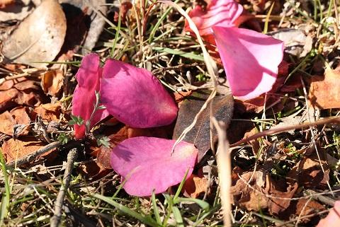 sazanka flor de te de la montana 2