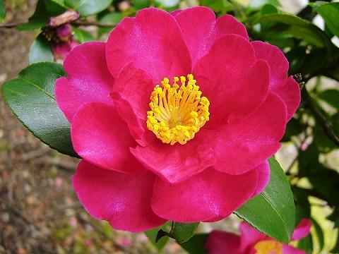 sazanka flor de te de la montana japon