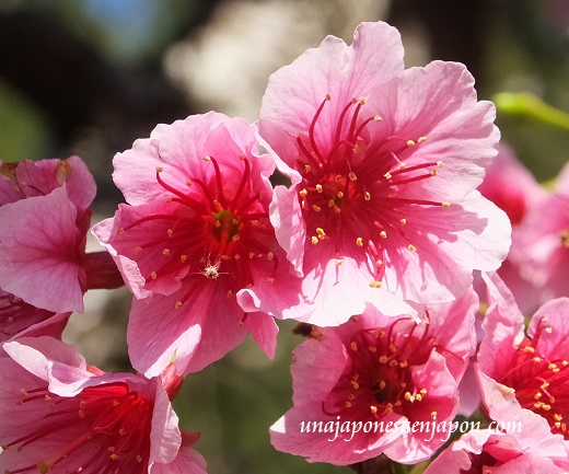 sakura flores cerezo 2016 japon 2