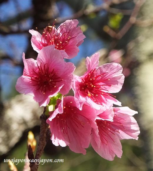 sakura flores cerezo 2016 japon 4