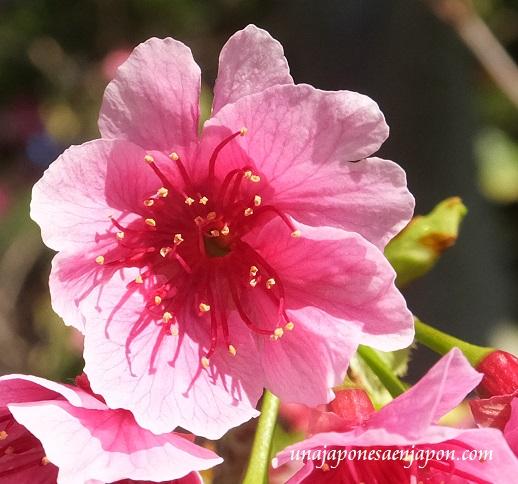 sakura flores cerezo 2016 japon 6
