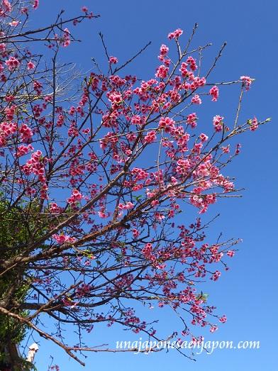 sakura flores cerezo 2016 japon 7