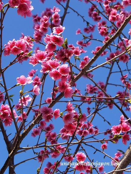 sakura flores cerezo 2016 japon