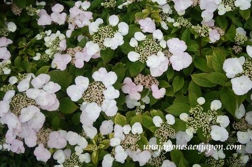 hortensia-de-invierno-fuyu-ajisai-okinawa-japon.