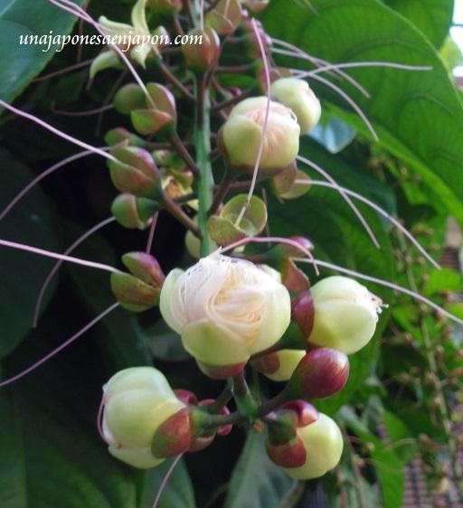 sagaribana barringtonia asiatica flor de verano okinawa japon 4