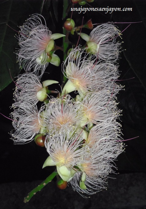 sagaribana barringtonia asiatica flor de verano okinawa japon 8