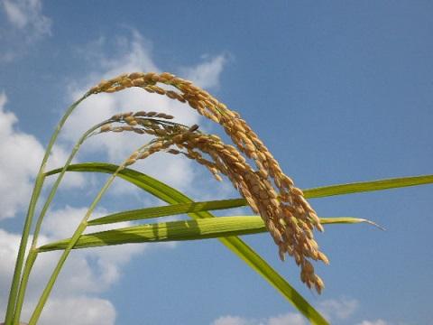 haiku-japones-espiga-de-arroz-cuanto-mas-madura-se-inclina