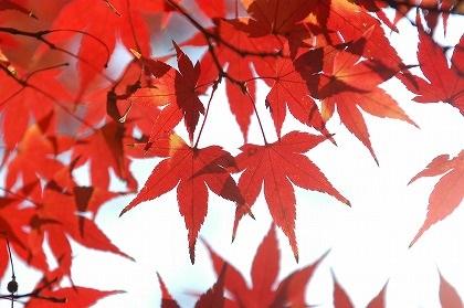 arce-japones-momiji-cambio-de-hojas-idioma-japones-haiku