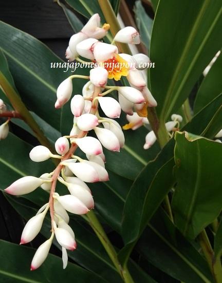 dia-del-mochi-okinawa-muuchii-planta-gettou-japon